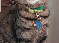 گربه ببری گمشده در شیپور-عکس کوچک