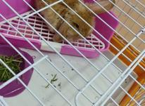 خرگوش لوپ نر با قفس و وسایل در شیپور-عکس کوچک