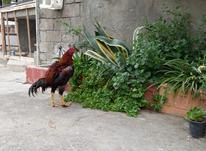 خروس لاری ... در شیپور-عکس کوچک