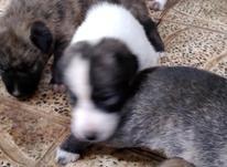 سگ گرگی میکس در شیپور-عکس کوچک