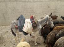 یک خرباپالان در شیپور-عکس کوچک