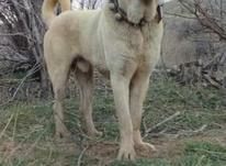 دو عدد سگ فروشی نر عراقی و ماده گردین در شیپور-عکس کوچک