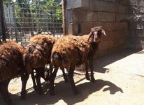 بره ماده افشاری اصیل (گوسفند) در شیپور-عکس کوچک
