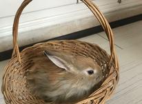 بچه خرگوش جرسی در شیپور-عکس کوچک