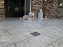 فروش سگ پاکوتاه در شیپور-عکس کوچک