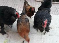 مرغ تخم گزار در شیپور-عکس کوچک