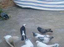 کبوتر نر شازده اصل در شیپور-عکس کوچک