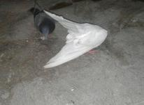 کبوتر نر جوجه تیپ در شیپور-عکس کوچک