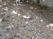 مرغ لاری اصیل در شیپور-عکس کوچک