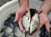 فروش عمده بچه ماهی گرمابی با قیمت مناسب و ارسال در شیپور-عکس کوچک