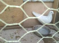 معاوضه با فنچ یا مرغ عشق در شیپور-عکس کوچک