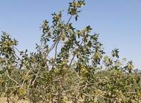باغ پسته درخت18 ساله در شیپور-عکس کوچک