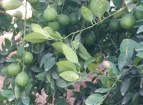 لیموترش آبدار در شیپور-عکس کوچک