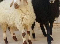 گوسفند زنده تمام نقاط تهران 24ساعته در شیپور-عکس کوچک