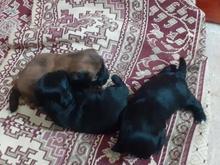 توله سگ پاکوتاه در شیپور