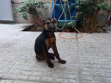 واگذاری سگ ژرمن دوبرمن در شیپور