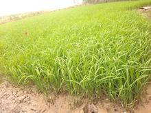 بذر نشا 10روزه در شیپور
