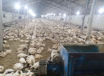 فروش مرغداری 20 هزارتای گوشتی فول امکانات  در شیپور-عکس کوچک