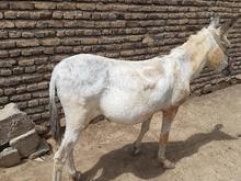 حیوان سواری باری در شیپور