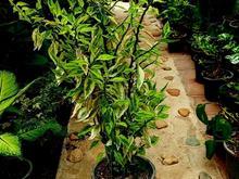 گل و گیاه اپارتمانی (پدیلانتوس) در شیپور