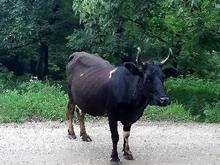 فروش گاو ماده با گاو نر در شیپور