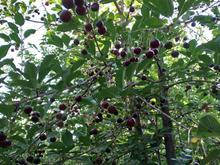 زمین باغ 1000 متری کرکبود در شیپور