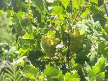 300 متر باغ انگور صمغ اباد در شیپور