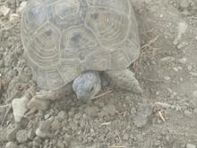 لاکپشت 1 ساله در شیپور