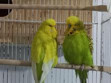 فروش یک جفت مرغ عشق انگلیسی مولد در شیپور