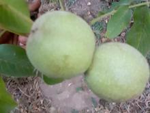 گردو سبز همدان در شیپور