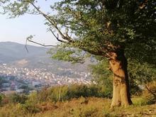 قطع درختان باغی در شیپور