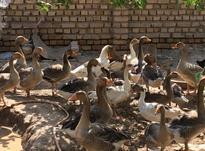 حدود 12 عدد غاز نر و ماده در شیپور-عکس کوچک