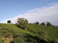 27 هزار متر باغ چای سنددار در لاهیجان در شیپور-عکس کوچک