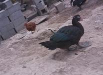 اردک خارجی در شیپور-عکس کوچک