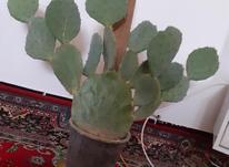 گل کاکتوس بزرگ در شیپور-عکس کوچک