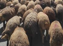 گوسفند داشتی و درشت هیکل در شیپور-عکس کوچک