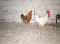 مرغ خروس سالم سلامت در شیپور-عکس کوچک