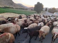گوسفند جوان داشتی در شیپور-عکس کوچک