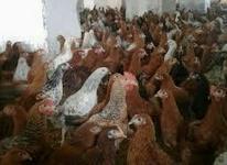 کارگر مرغداری در شیپور-عکس کوچک