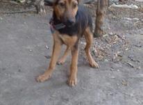فروش سگ نگهبان در شیپور-عکس کوچک