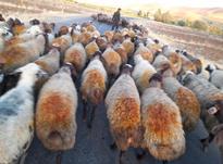 میش یا گوسفند در شیپور-عکس کوچک