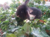 فروش توله خرگوش در شیپور-عکس کوچک