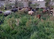 فروش گوسفند داشتی،گوشتی در شیپور-عکس کوچک