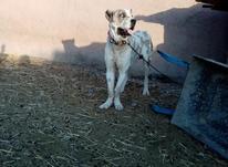 سگ افغان وگله در شیپور-عکس کوچک