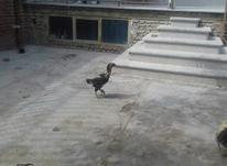 مرغ لاری یکساله تازه تخم در شیپور-عکس کوچک