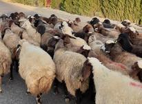 گوسفند داشتی آبستن تمام شیشک در شیپور-عکس کوچک