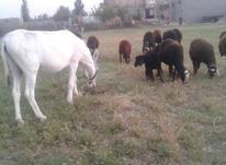 الاغ یا خر گاری و گوسفند در شیپور-عکس کوچک