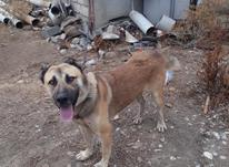 سگ افغانی ومیکس ژرمنوهاسکی در شیپور-عکس کوچک