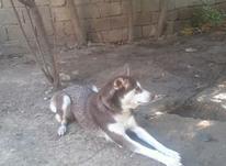 سگ هاسکی گلد در شیپور-عکس کوچک