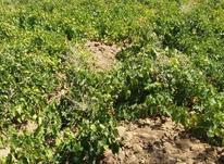 نیم هکتار باغ انگور قطره ای در شیپور-عکس کوچک